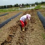 みんなの栽培日記|2015/05/29_福島市佐倉下の畑にて。