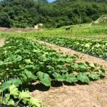 みんなの栽培日記|2015/07/11_一関市の畑にて。