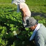 みんなの栽培日記|2015/08/02_岩手県一関市の畑にて。