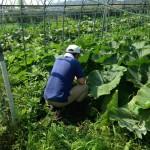 みんなの栽培日記|2015/08/02_岩手県遠野市の畑にて。
